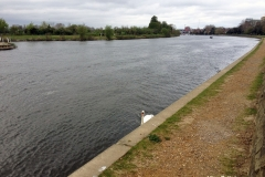 Majestic-Swan-at-River-Thames-Kingston