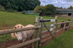 Puzzlewood-shetlands-ponies