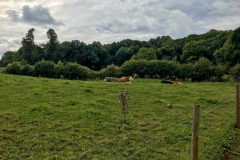 puzzlewood-farm-cows