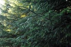 Beautiful-Trees-on-a-walk-near-Lochan-Spling