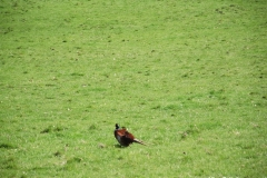 A-lonely-Pheasant-in-Chirk-Castle-Grounds-Wrexham-Wales