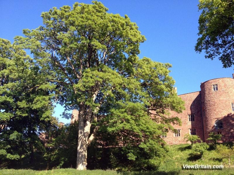 Giant-Oak-Tree-in-Powis-Castle