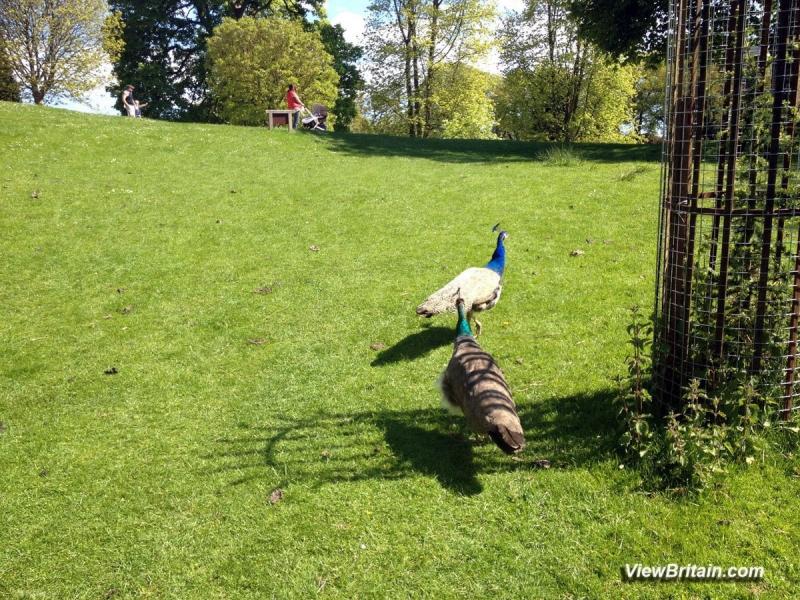 Peacocks-Roaming-outside-Powis-Castle