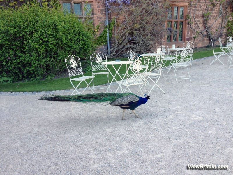 Peacocks-roaming-near-Powis-Castle-entrance