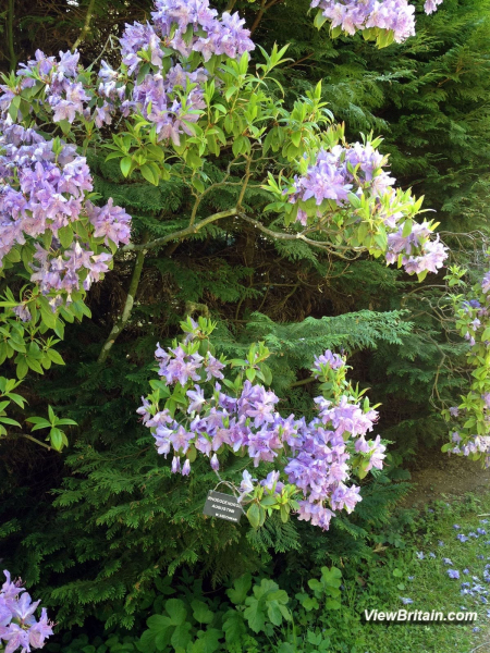 Rhododendron-Augustinii-in-Powis-Castle