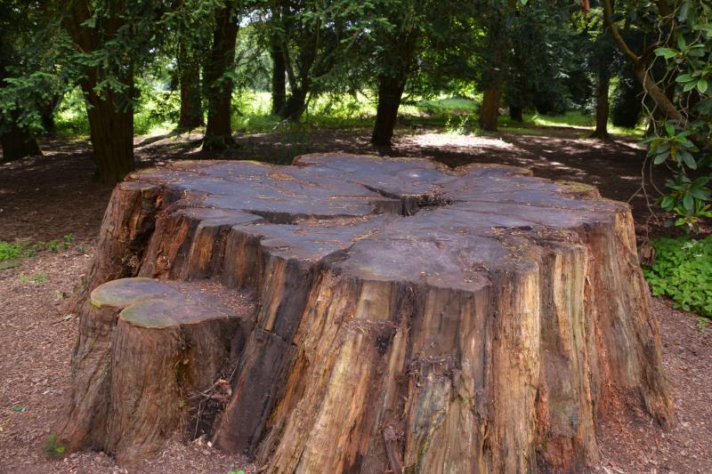 A-Chaimpion-tree-stump-at-westonbirt-arboretum