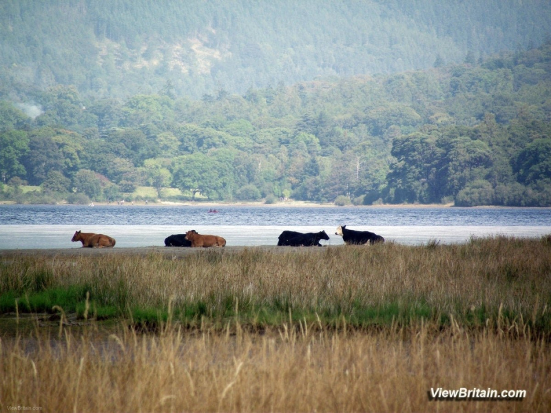 Cows-resting-by-the-Derwentwater-Lake-Keswick