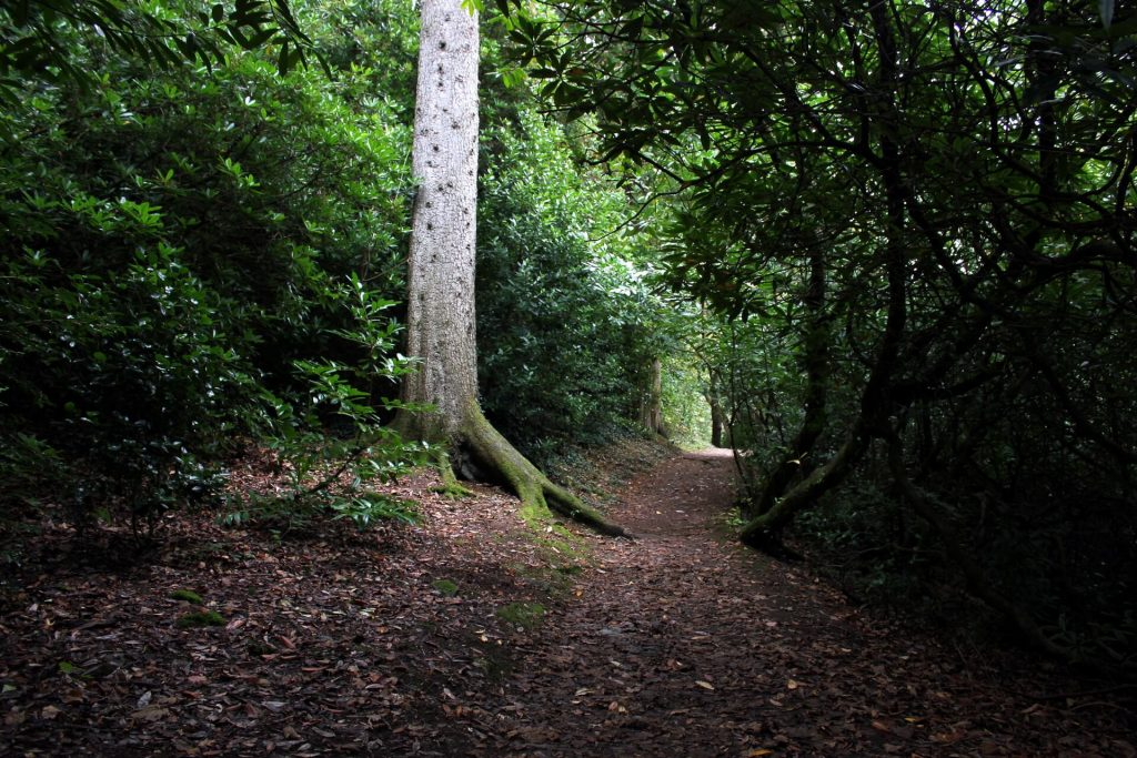 portmeirion-woodland-walk-large-tree